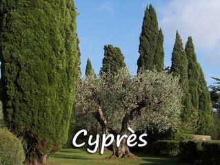 Le cyprès : pas si loin, c'est bien !
