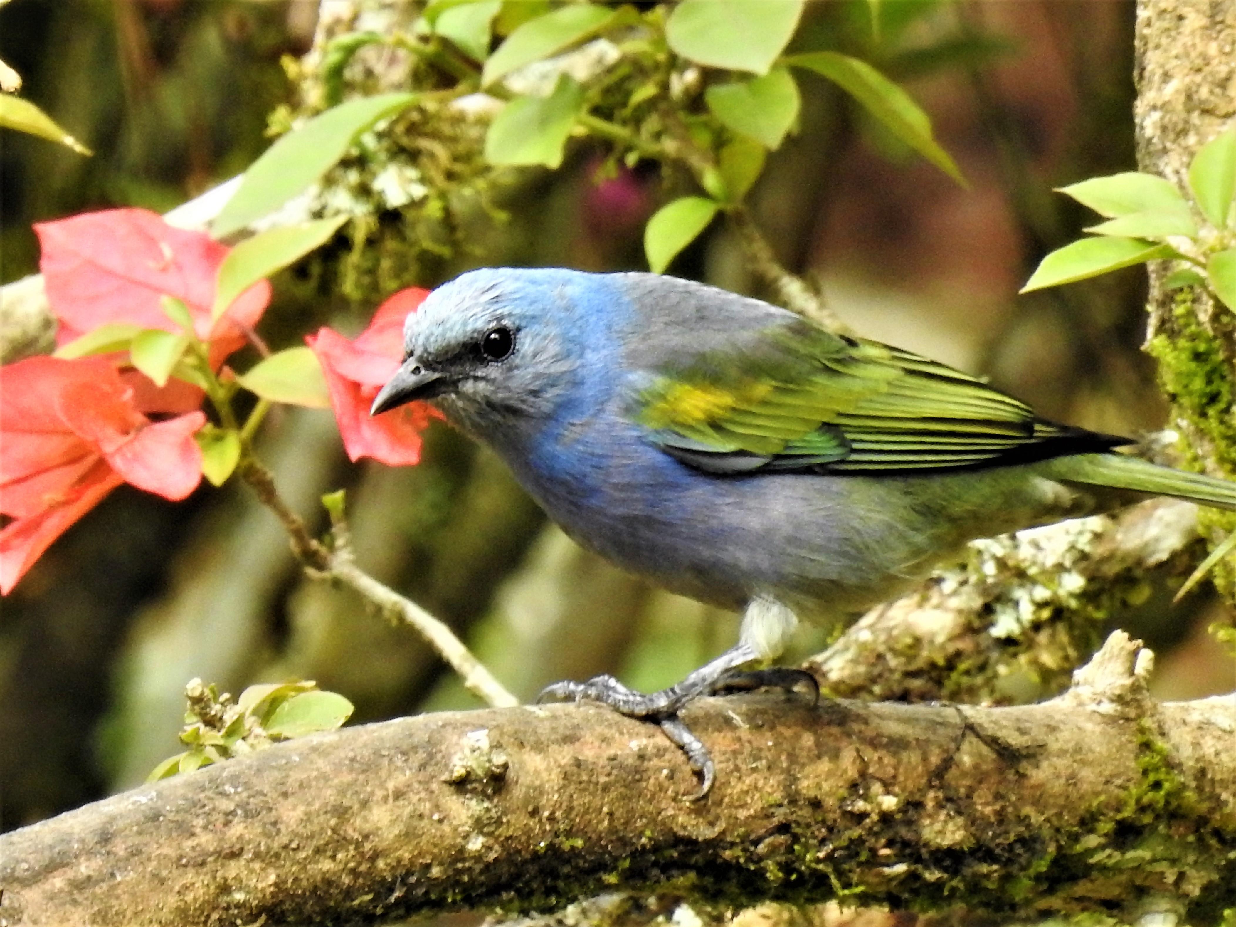 Sanhaçu-de-encontro-amarelo (2)