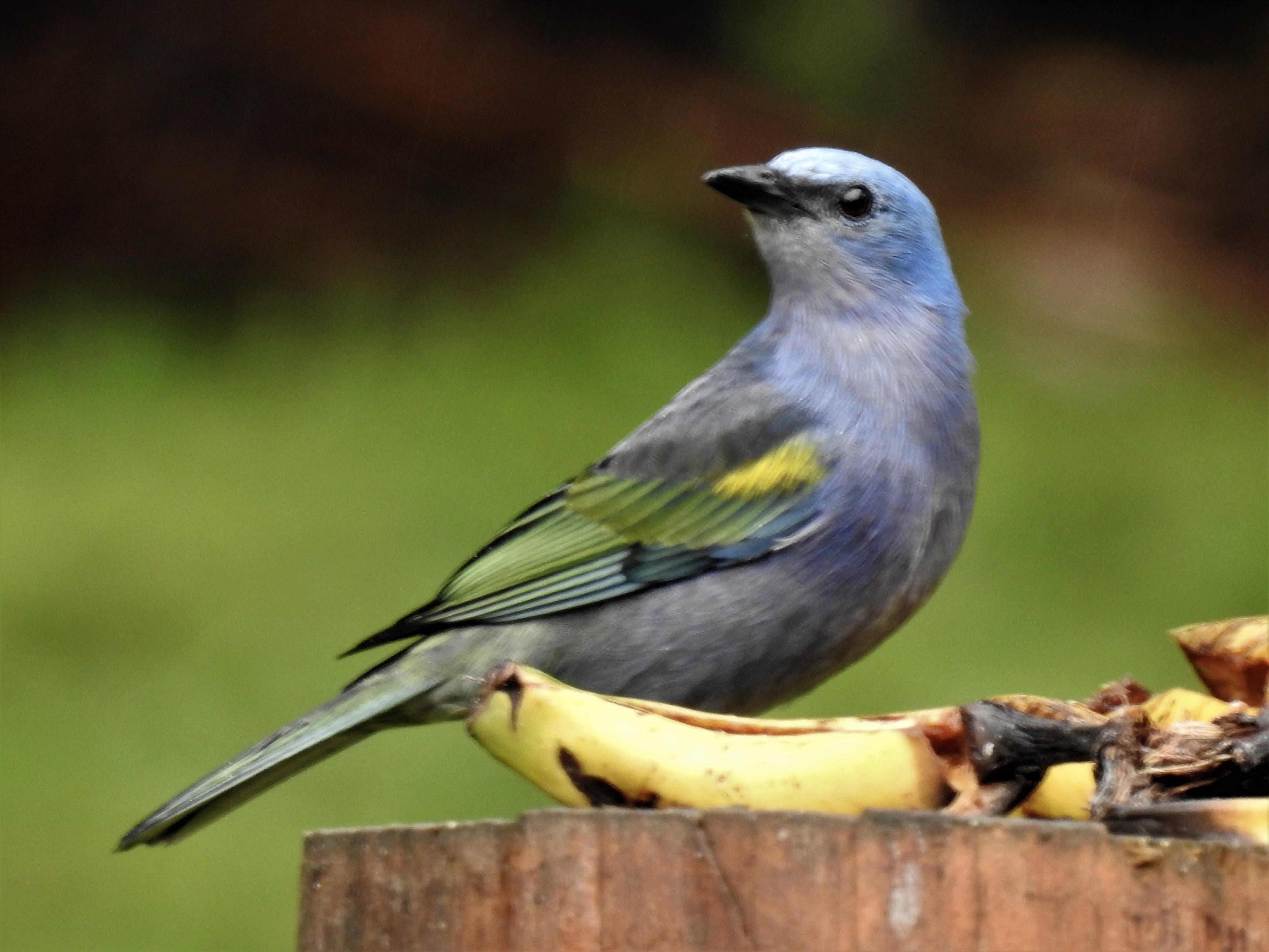 Sanhaçu-de-encontro-amarelo
