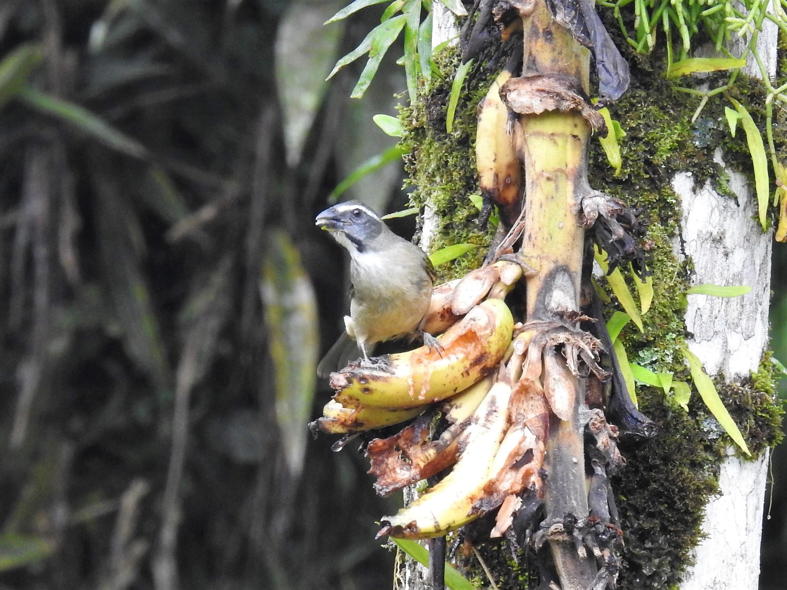 papa-banana(trinca-ferro)2