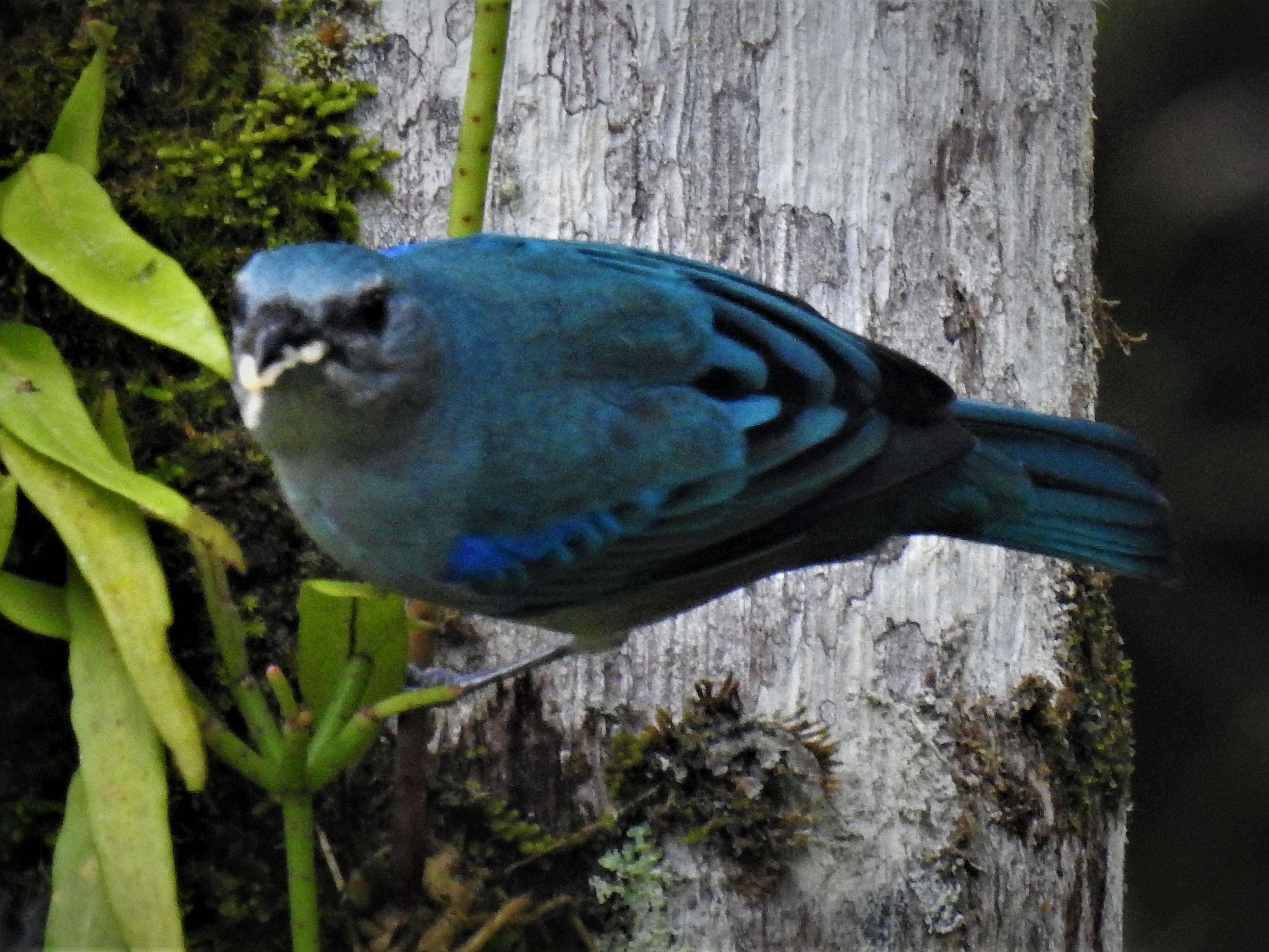 Sanhaçu-de-encontro-azul1