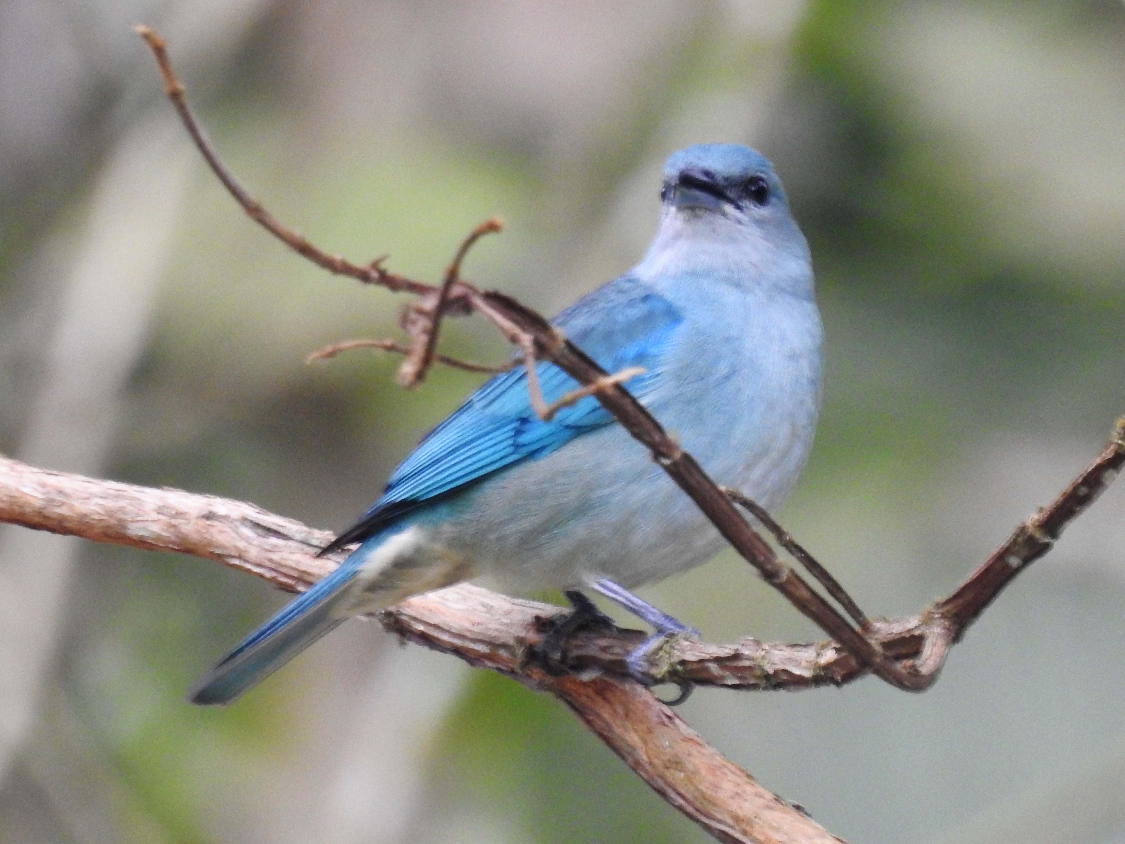 Sanhaçu-de-encontro-azul (2)