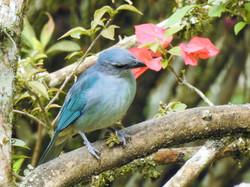 Sanhaçu-de-encontro-azul (3)