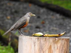 Sabiá-laranjeira (2)