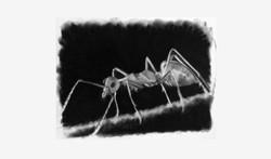 ART_Charcoal_Ant