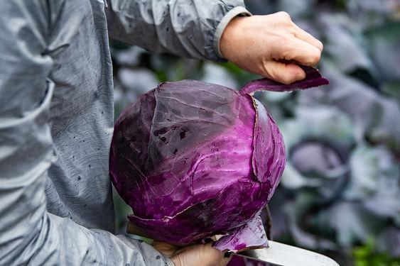 アムール農房の紫キャベツ