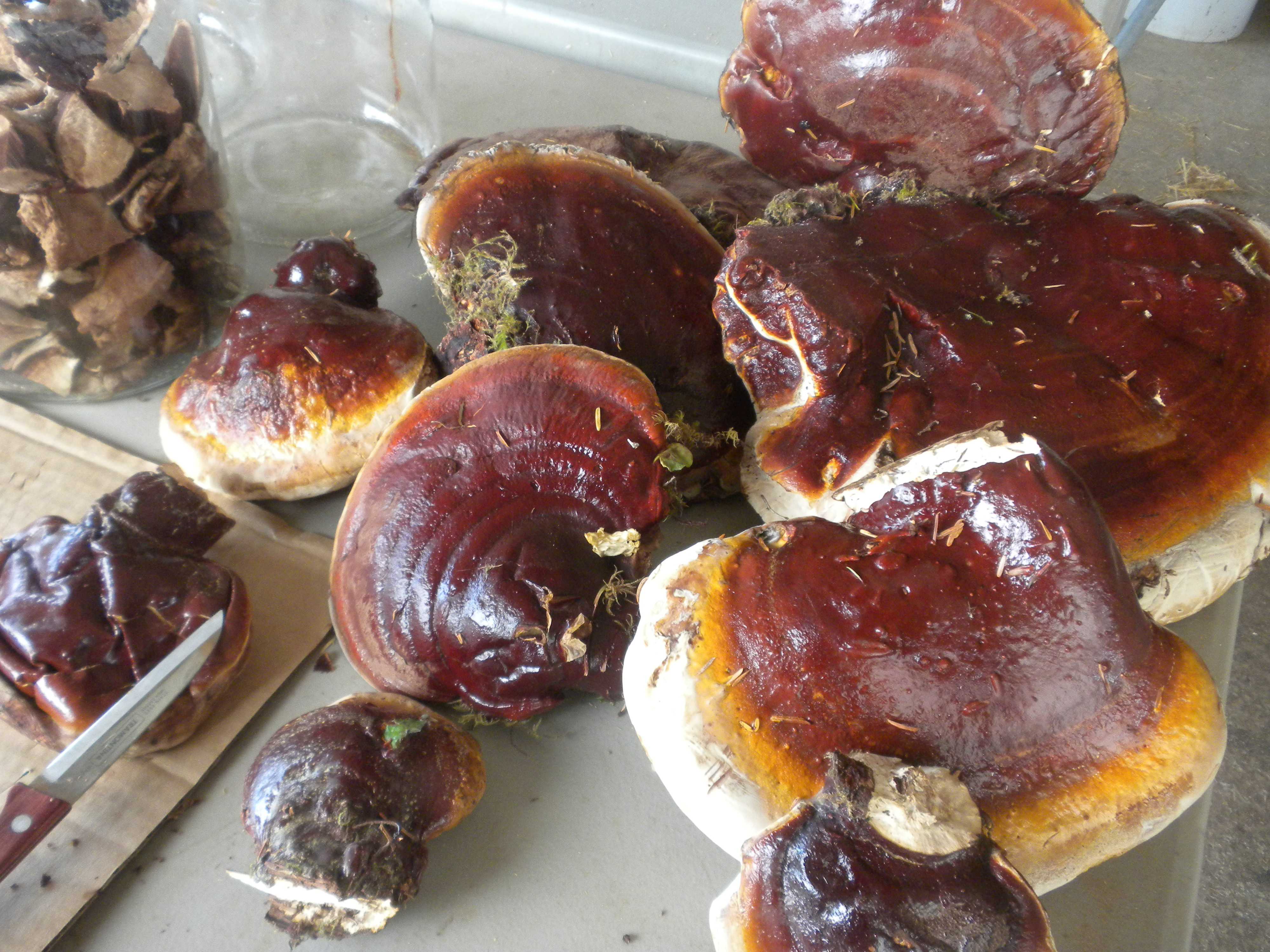 Making Ganoderma tsugae tincture.JPG