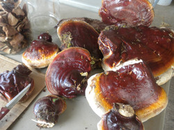 Making Ganoderma tsugae tincture.JPG