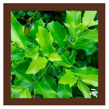 Dica Saudável | Espinheira Santa | Planta medicinal nativa do Brasil