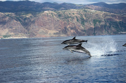 Whale and dolphin watching Madeira