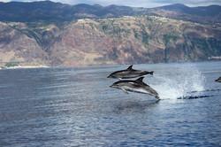 Wal und Delfin Beobachtung Madeiraed