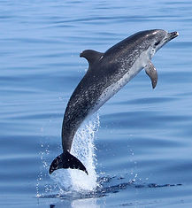 Spotted Dolphin Madeira