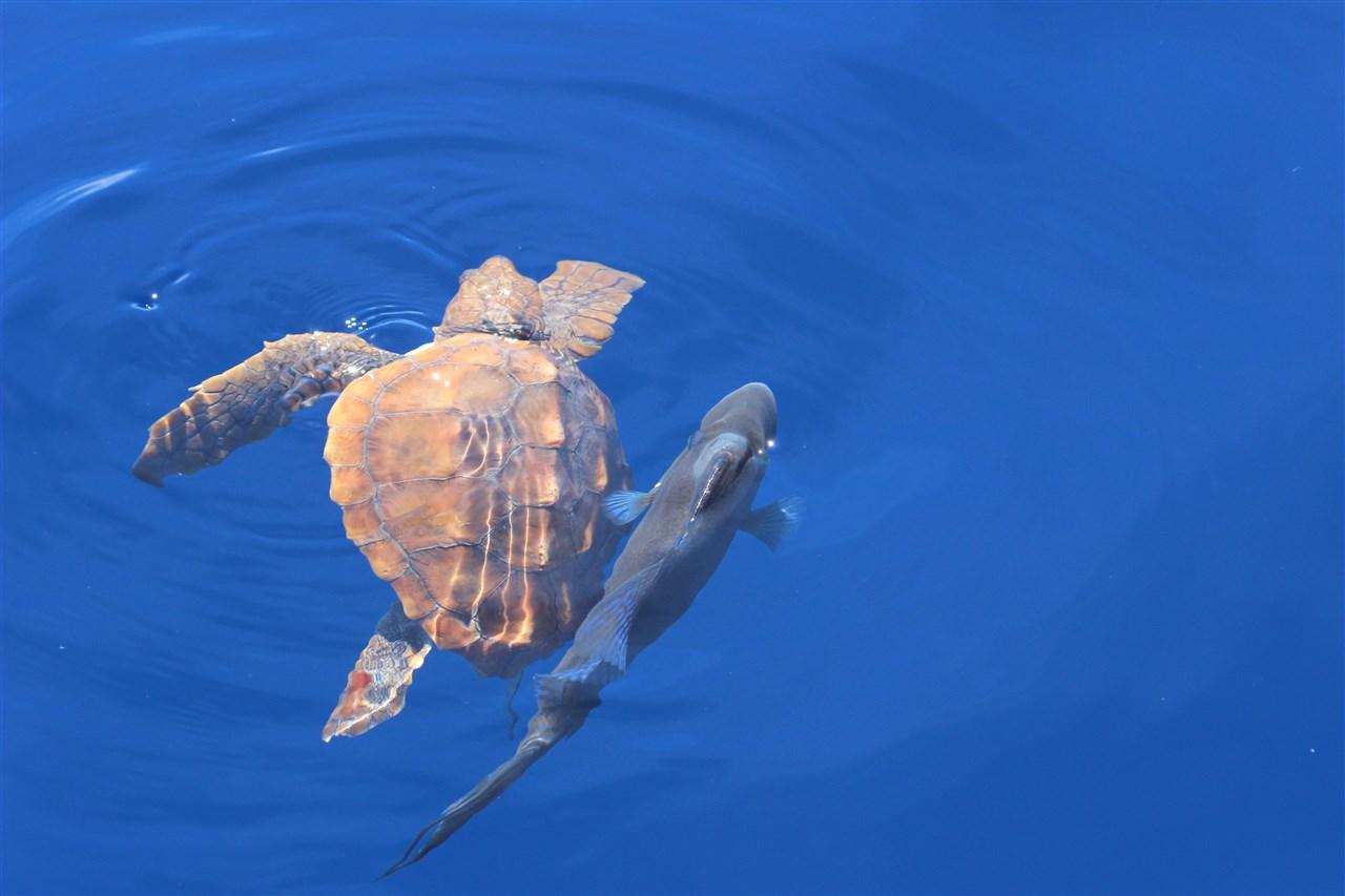 Tartaruga Caretta Caretta Madeira
