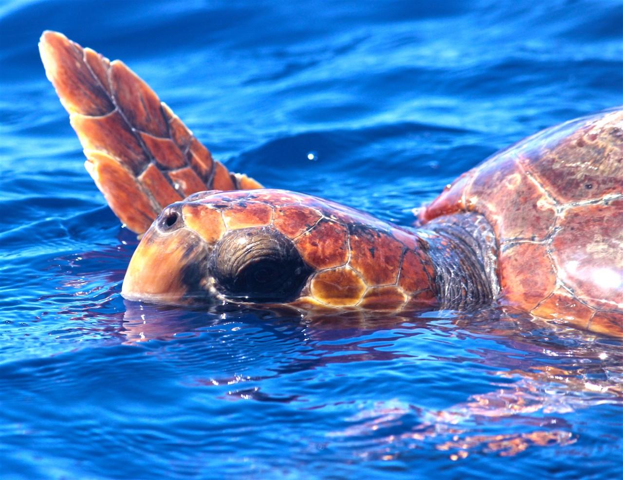 Turtle Caretta Caretta Madeira