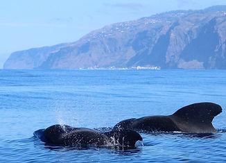 Baleine Pilote Madeira