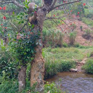 The Batwa Build a Bridge