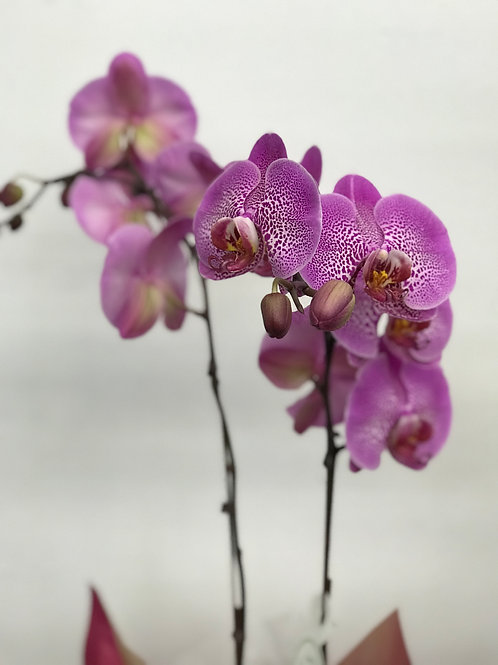 Purple dotted orchids