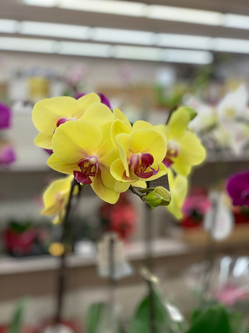 Neon Yellow Orchids