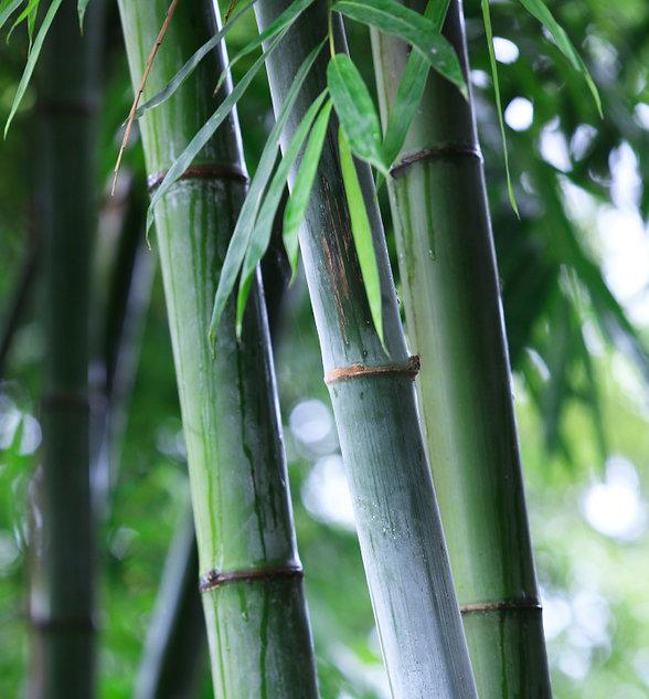Bamboo stems.jpg