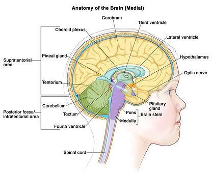 pons-anatomy-1.jpg