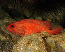 Toadstool grouper