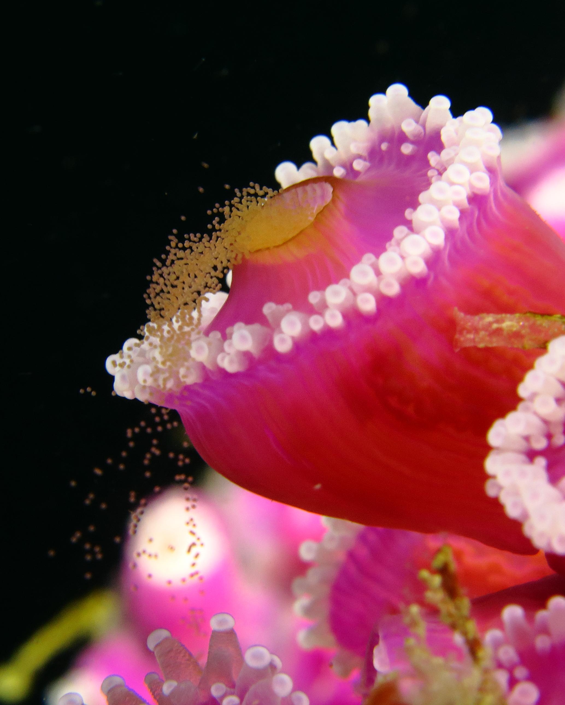 Spawning jewel anemone