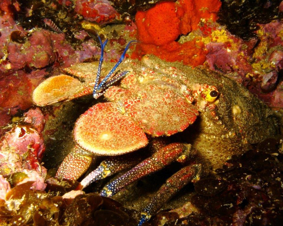 Spanish lobster