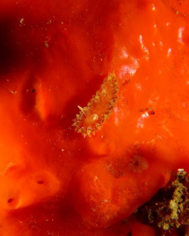 Caldukia rubiginosa