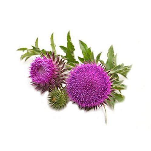 Milk Thisle (Silybum marianum) Extract Silymarin 80% by UV