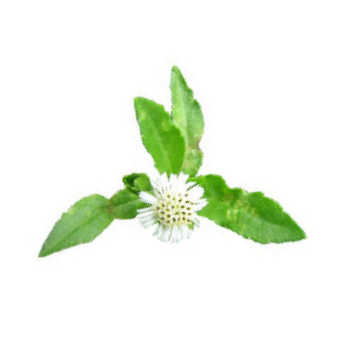Bhringraj (Eclipta alba) Extract Wedalactones 1.5% by Gravimetry