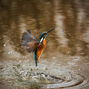 kingfisher-1068684_1920 (1).jpg