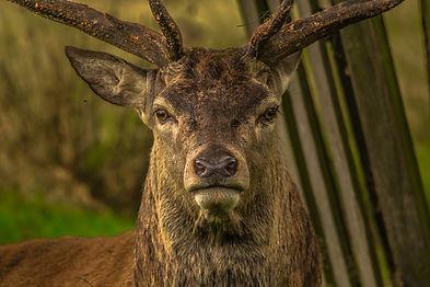 deer-952744_1920.jpg