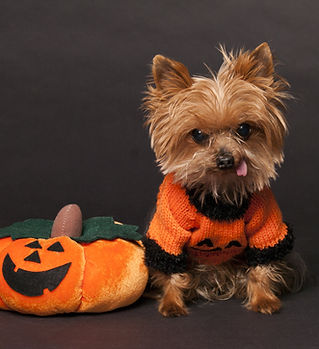 yorkie-dressed-in-halloween-costume.jpeg