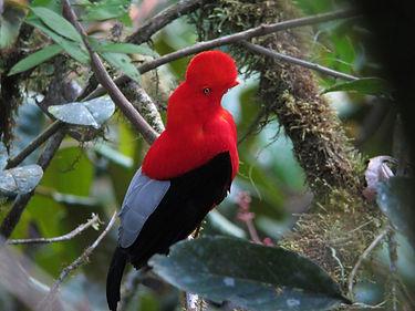 エクアドル, 野鳥, バードウォッチングツアー, バードウォッチング, バーダー, 撮影
