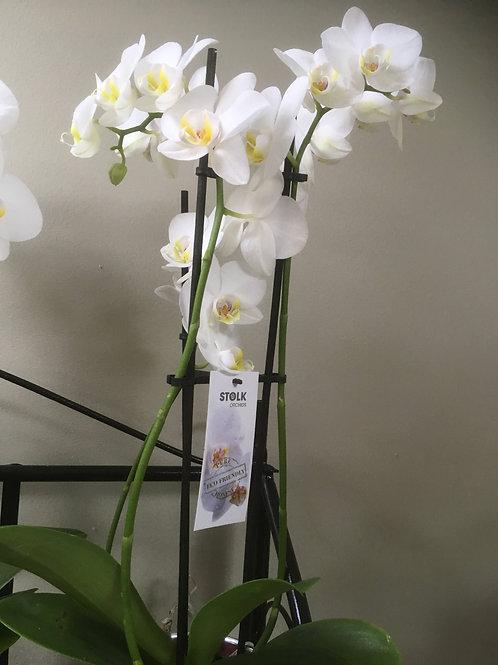 Orchidée blanche, deux tiges, 50/60 cm.