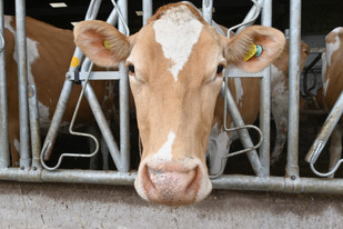 Beautiful Guernsey Cow
