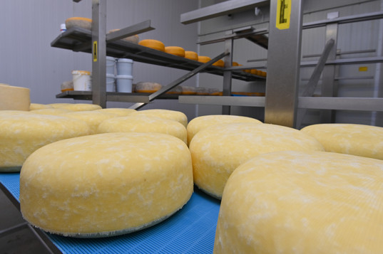 Guernsley cheeses maturing