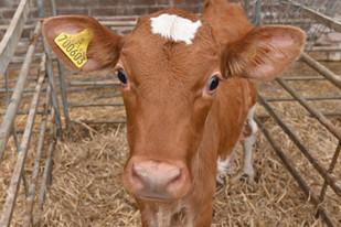The Guernsey Calf