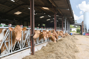 The Guernsey Cows