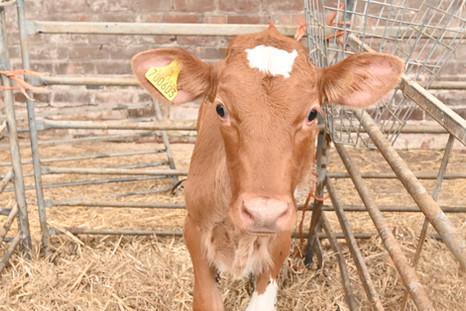 Gorgeous Guernsey Calf