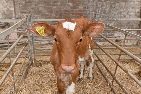 Guernsey calf a few days old