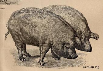 Serbian Pig_Old picture Mangalitsa histo