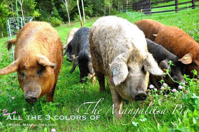 #_Colors_of_the_Mangalitsa_breed_©Royal_