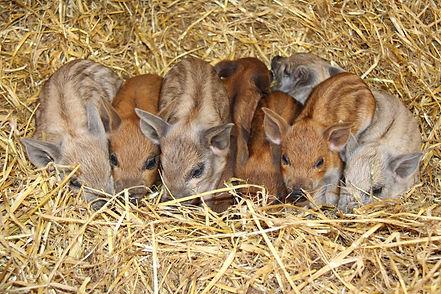 Lisa Red blonde Mangalitsa piglets .jpg