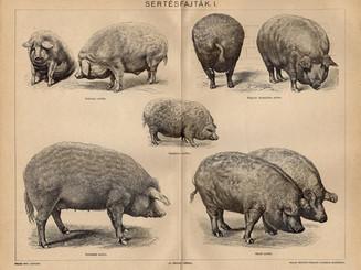 The old lard breeds 1897