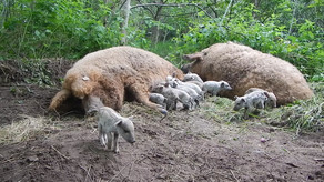 Roggebotsteate in Dronten the Netherlands. These piglets were just borne 5 hours before.