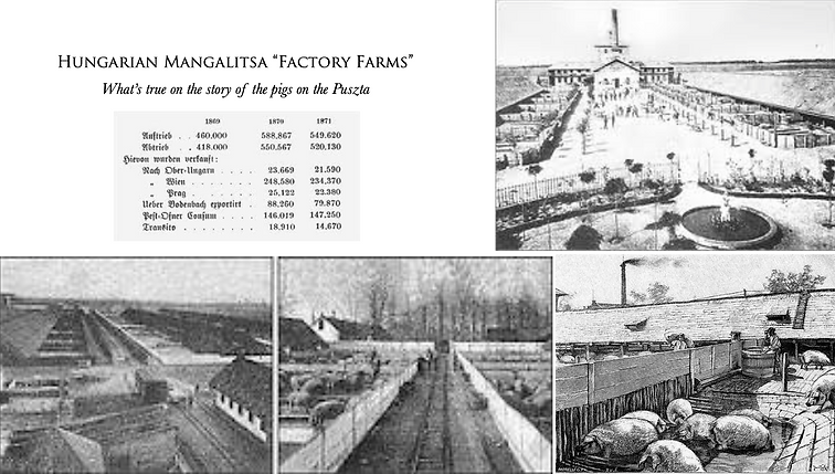 Hungarian Mangalitsa 'Factory Farms' Fat