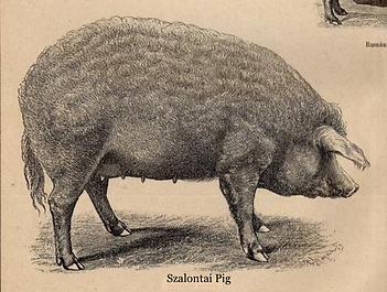 Szalontai Pig_Old picture Mangalitsa his