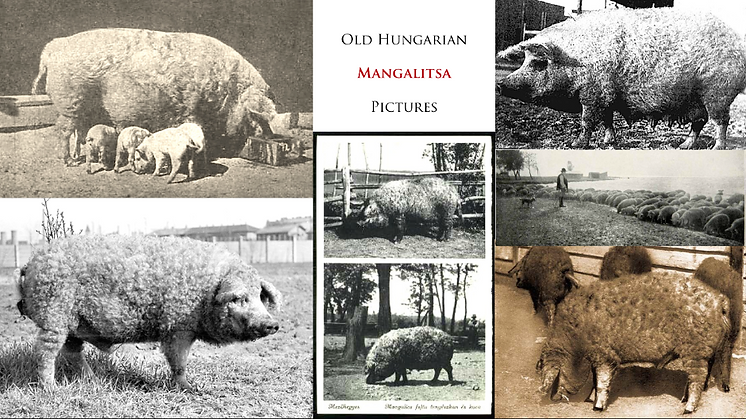 Old pictures Mangalitsa _ MBOAR History.