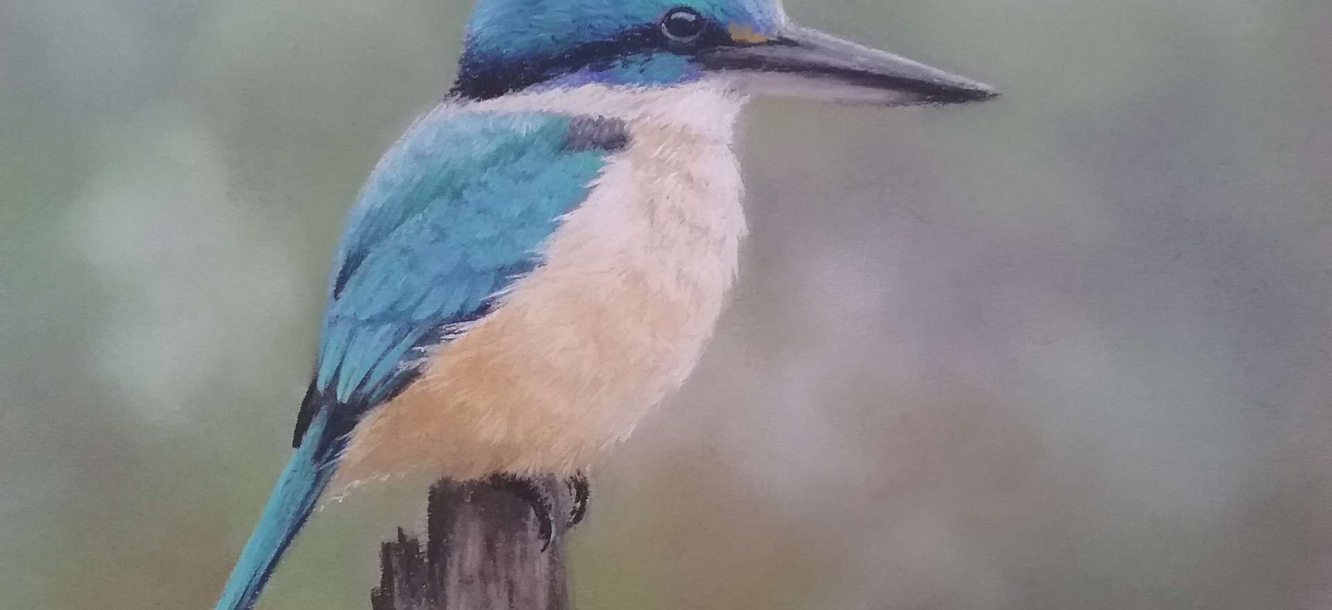 Sacred Kingfisher. - Sue Gasser